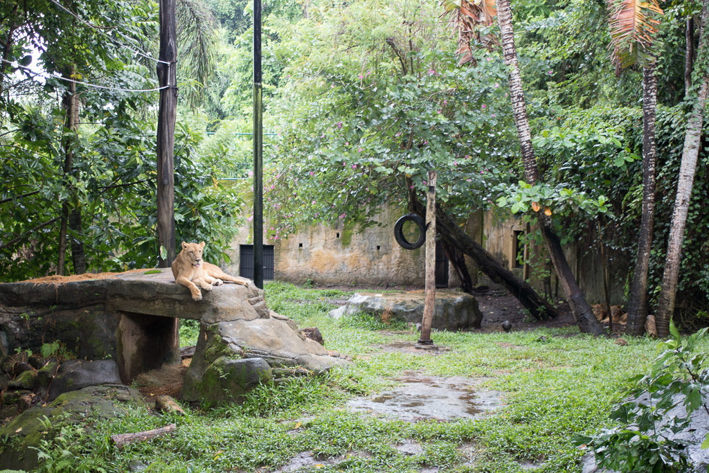 Adult lion rests on a pile or rocks. Can you spot the cubs off to the side? zoo bali zoo