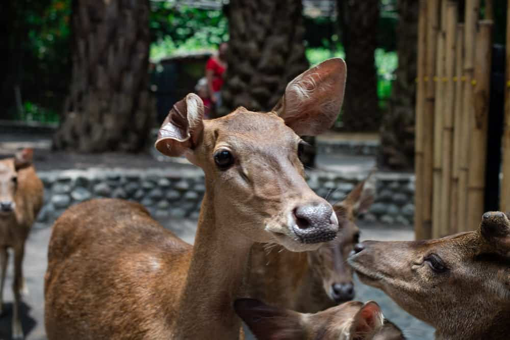 Deer looks directly into camera lens at Delhi park one of the best places to visit in Delhi with family.
