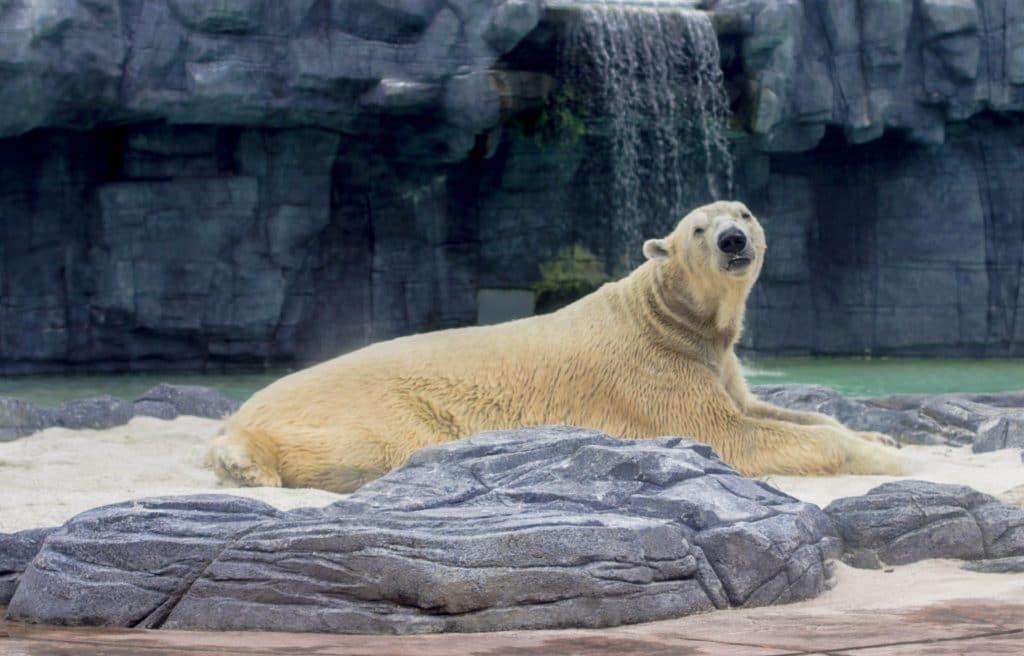 Polar Bear at the Copenhagen Zoo